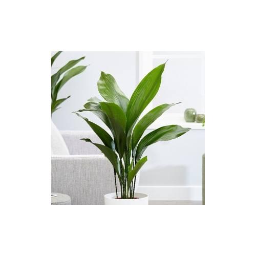 árnyéktűrő növények